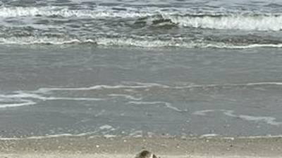 PHOTOS: Seal found on Ponte Vedra Beach
